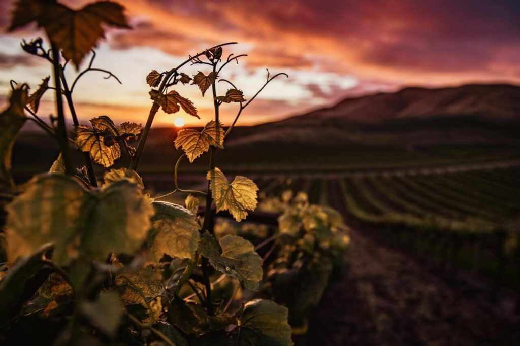 Romantic sunset vineyards